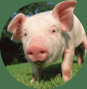 Продукти за Свине